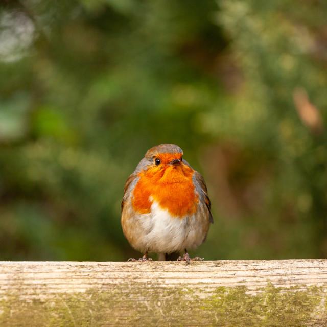 """Robin Redbreast (Erithacus rubecula)"" stock image"