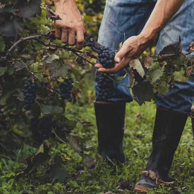 """Man harvesting black grapes"" stock image"