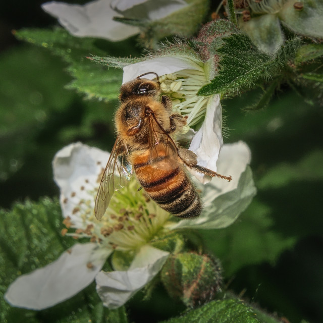 """Western Honey Bee"" stock image"