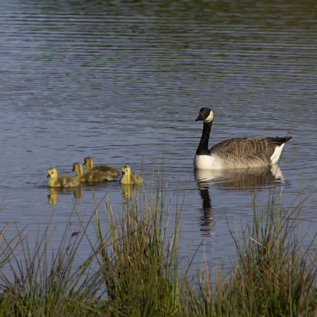 """""""Canada Goose with Goslings"""" stock image"""