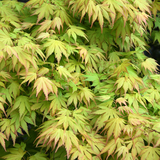 """Japanese Maple. Close-up"" stock image"