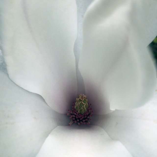 """Magnolia flower close-up"" stock image"