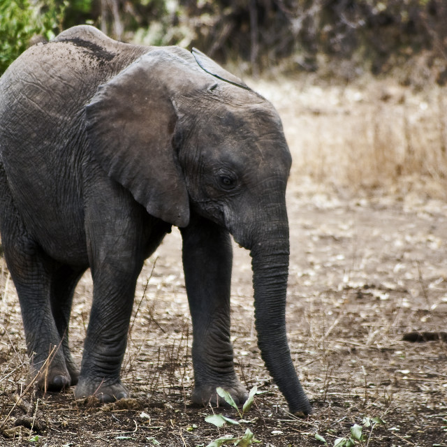 """Young elephant"" stock image"