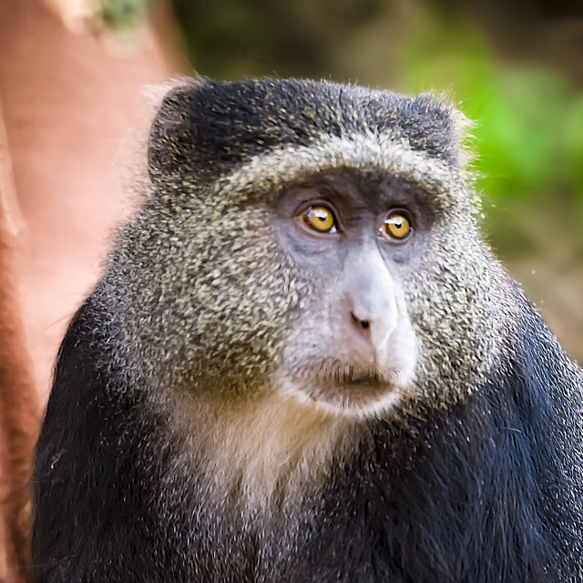 """Olive baboon"" stock image"