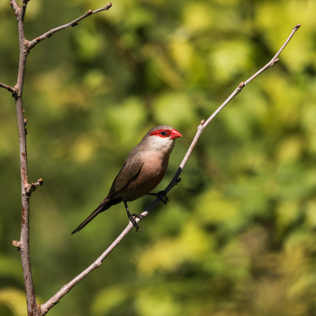 """A curious waxbill"" stock image"