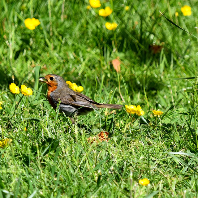 """""""Little robin on a sunny morning."""" stock image"""