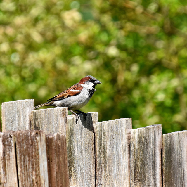 """""""Little sparrow on our garden fence."""" stock image"""