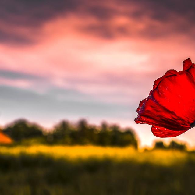"""""""Poppy Sunrise, Cambridge UK."""" stock image"""