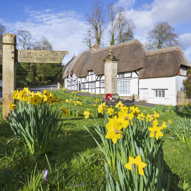 """""""Spring Daffodils on the village green with white thatched cottages behind,..."""" stock image"""