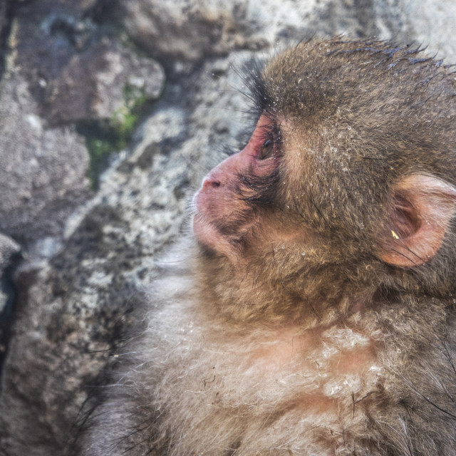 """Snow Monkey face"" stock image"