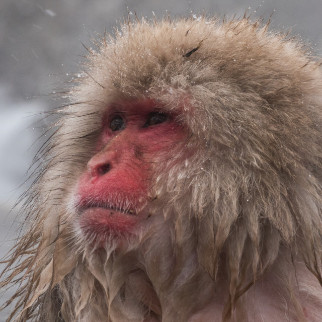 """""""Snow Monkey looking out"""" stock image"""