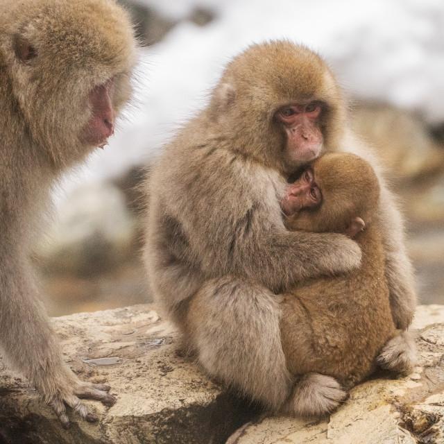 """snow monkey family"" stock image"