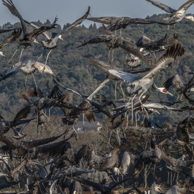 """White napped crane taking off"" stock image"