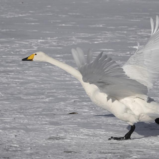 """Hooper swan taking off"" stock image"