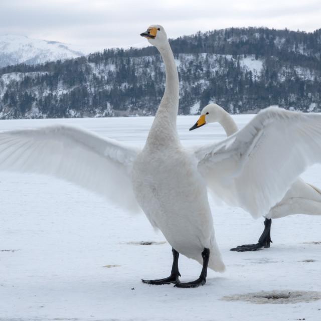 """""""Hooper swan wing span"""" stock image"""