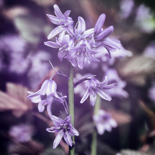 """""""Bluebells in autochrom"""" stock image"""
