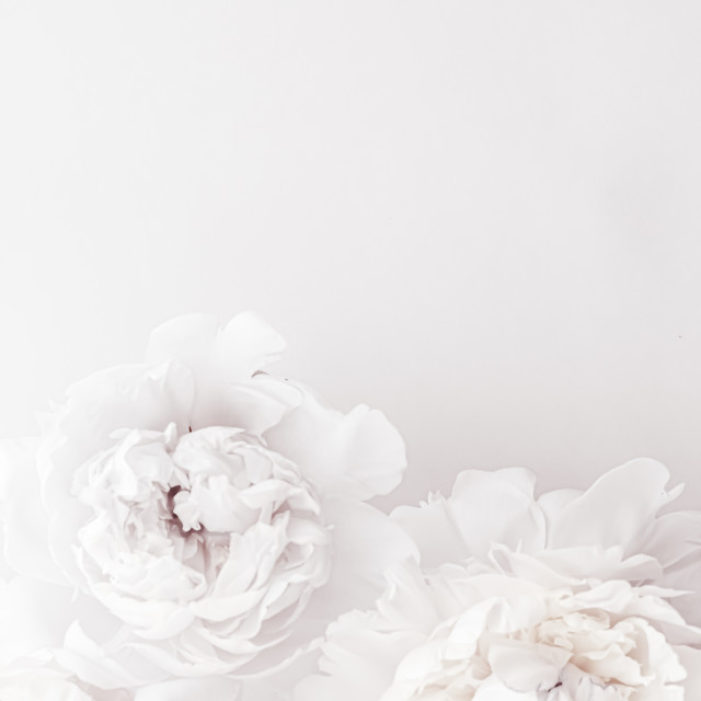 """Pure white peony flowers as floral art background, wedding decor and luxury..."" stock image"