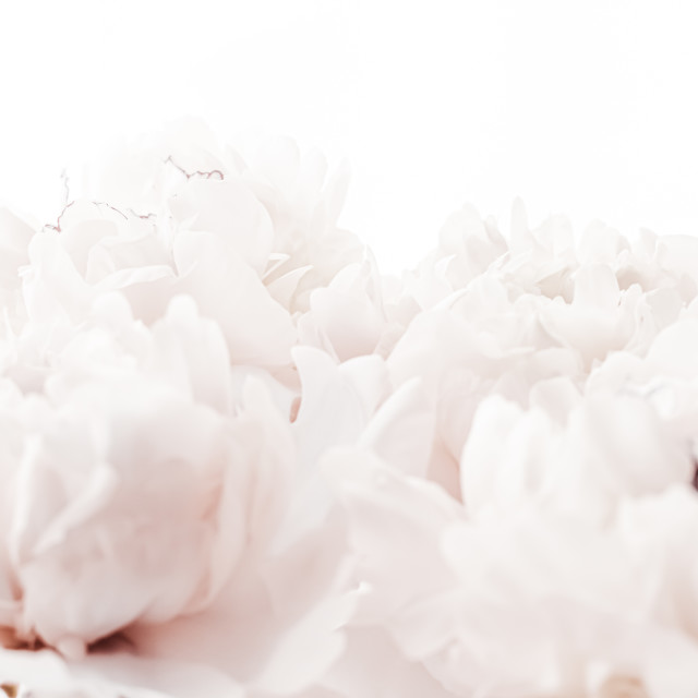 """Pastel peony flowers in bloom as floral art background, wedding decor and..."" stock image"
