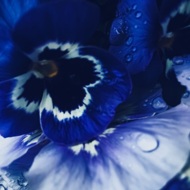"""Blue flower on dark background, floral and nature"" stock image"