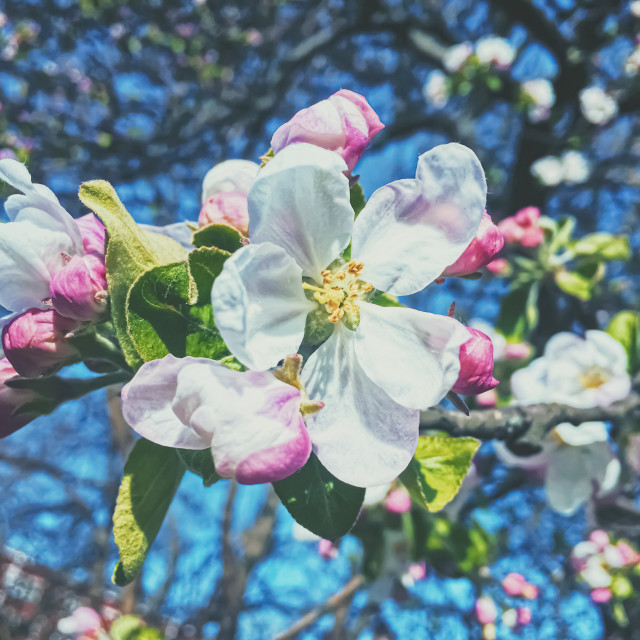 """Blooming apple tree flowers in spring as floral background"" stock image"