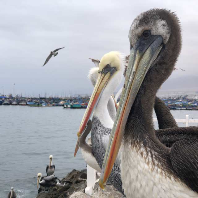 """Pelicans from Chile"" stock image"