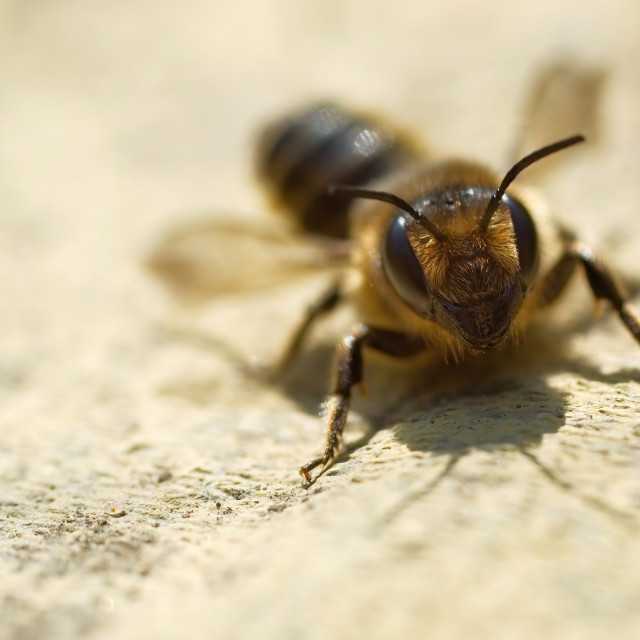 """Honey Bee on a Stone Slab"" stock image"