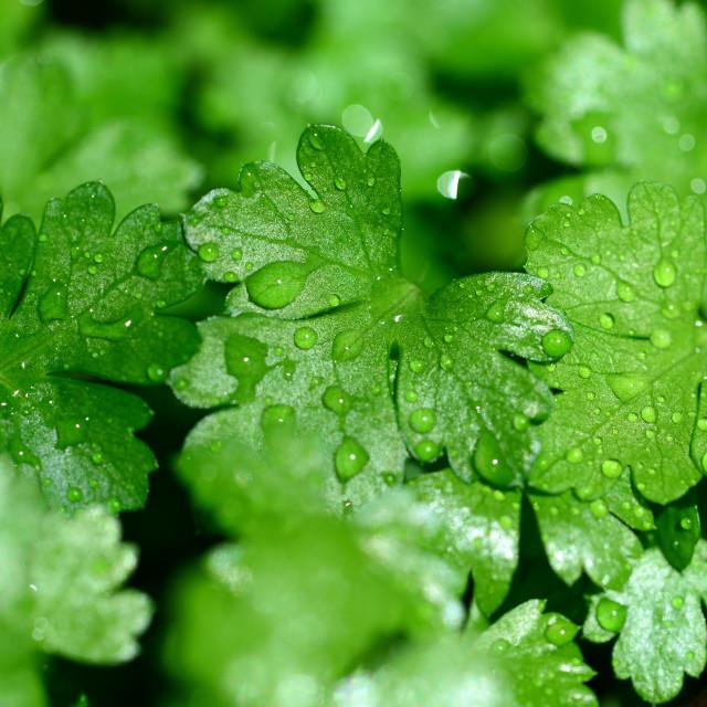 """fresh parsley leaves"" stock image"