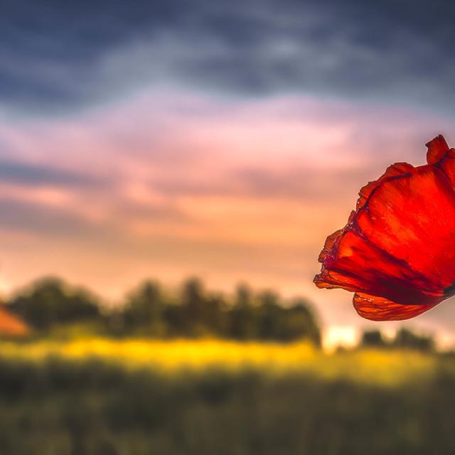 """""""A Poppy Sunrise, Cambridge UK."""" stock image"""