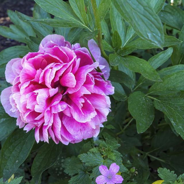 """A Peony Flower"" stock image"