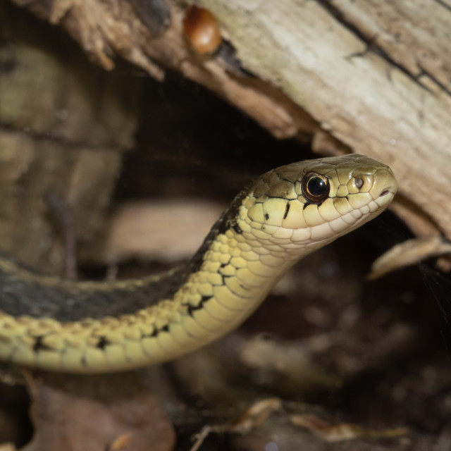 """""""Eastern Garter Snake On The Hunt"""" stock image"""