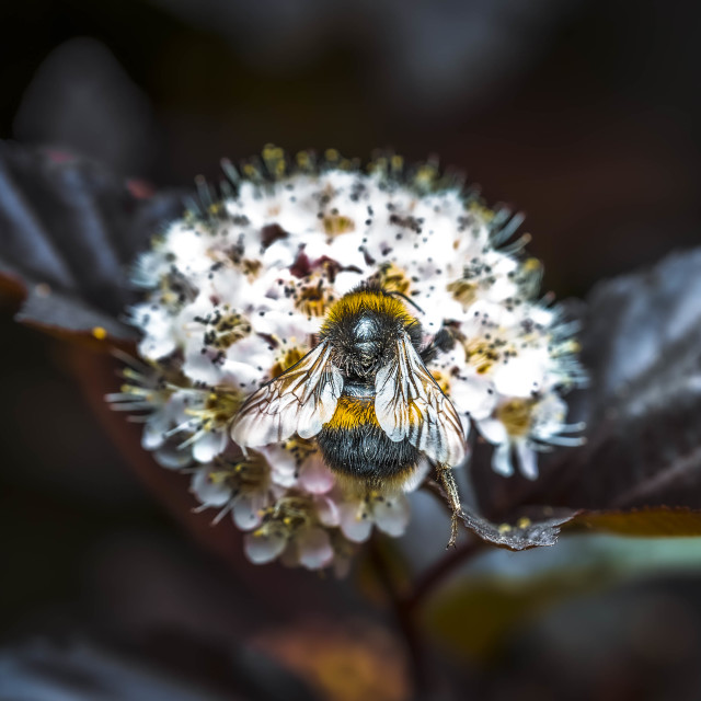 """Bumble Bee at work, Cambridge UK."" stock image"