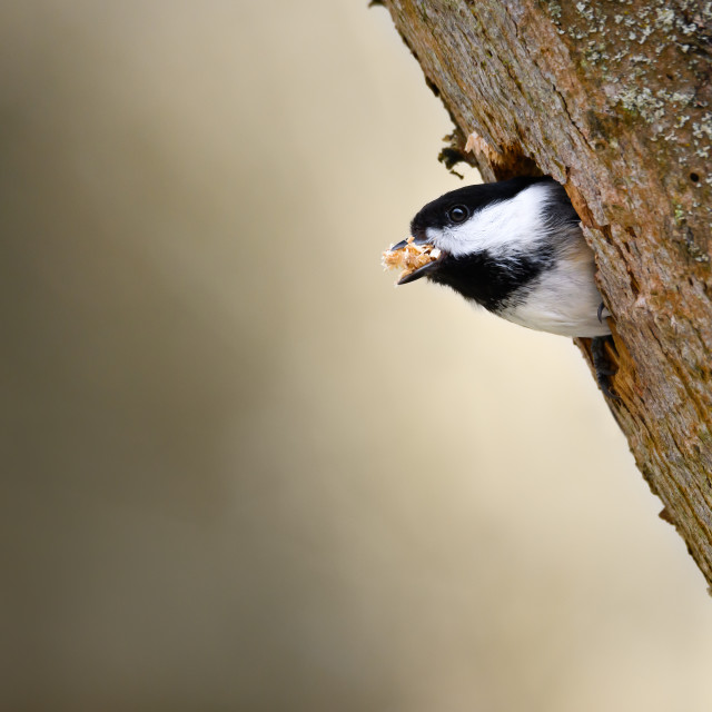 """""""Spring-Cleaning Chickadee"""" stock image"""