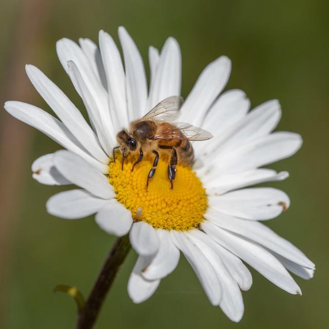 """Apis mellifera - the honey bee"" stock image"