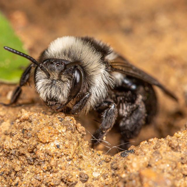 """Ashy mining bee, Andrena cineraria"" stock image"