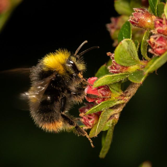 """""""Bombus pratorum, early bumblebee"""" stock image"""