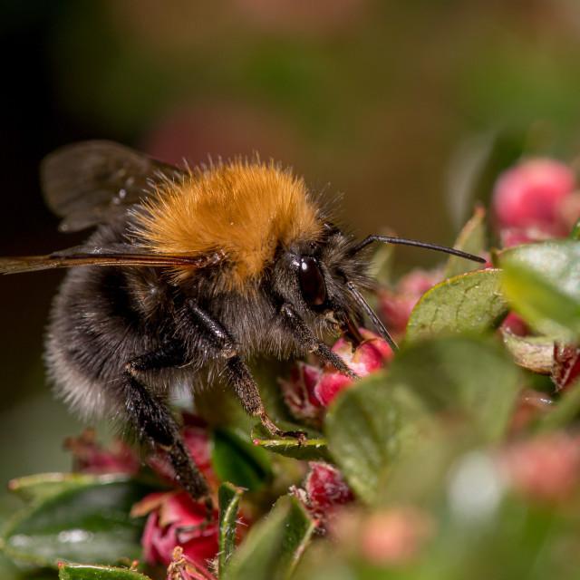 """""""Bombus hypnorum, tree bumblebee"""" stock image"""