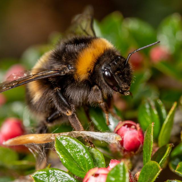 """Bombus pratorum, early bumblebee queen"" stock image"