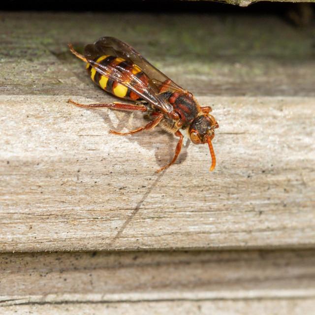 """Nomada sp f, cuckoo bee"" stock image"