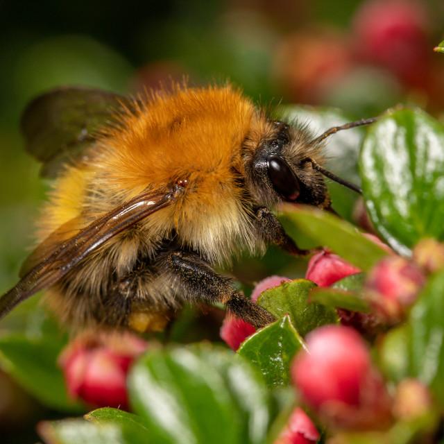 """Bombus pascuorum, common carder bee"" stock image"