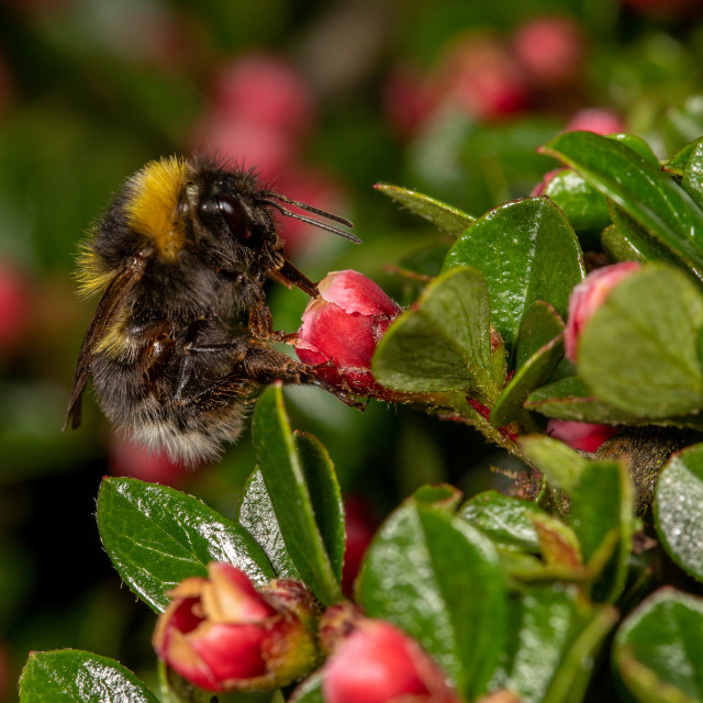 """Bombus hotorum, garden bumblebee"" stock image"