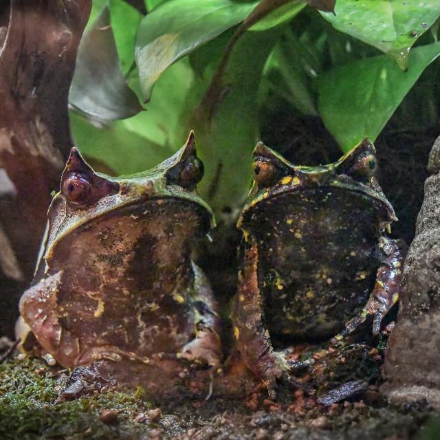 """Malayan Horned Frog"" stock image"