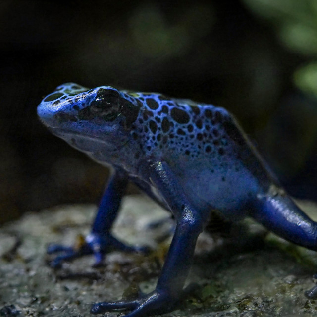 """Blue Poison Dart Frog 02"" stock image"