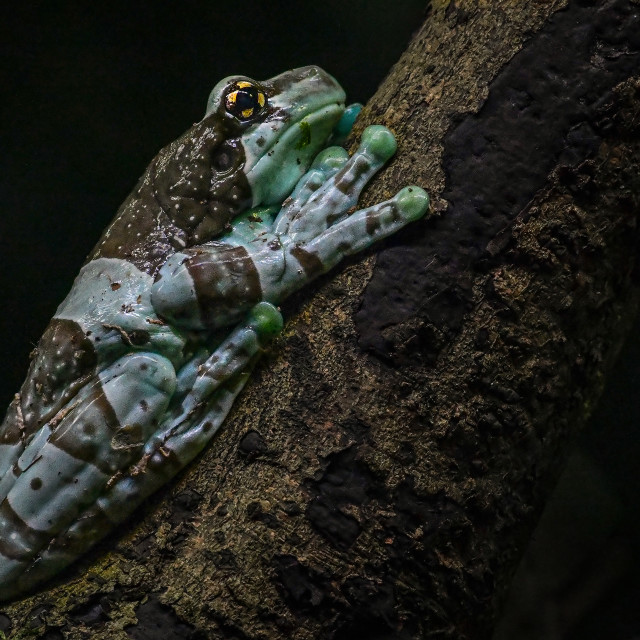 """""""Amazon Milk Frog"""" stock image"""
