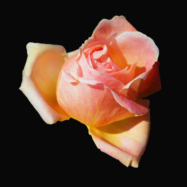 """""""PALE ORANGE ROSE"""" stock image"""