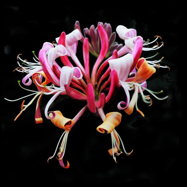 """""""Honeysuckle flower"""" stock image"""