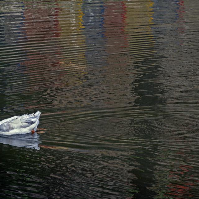 """""""Ducks at Bhulla Lake"""" stock image"""
