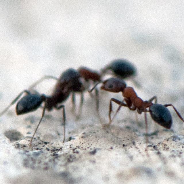 """""""The Peacemaker Ant"""" stock image"""