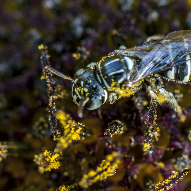 """""""The Honey Bee Covered in Pollen Grains."""" stock image"""