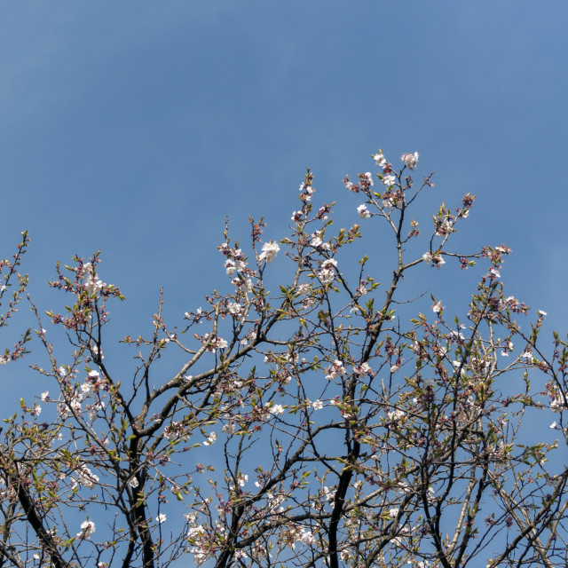"""""""Apple Blossoms against the Blue Sky"""" stock image"""