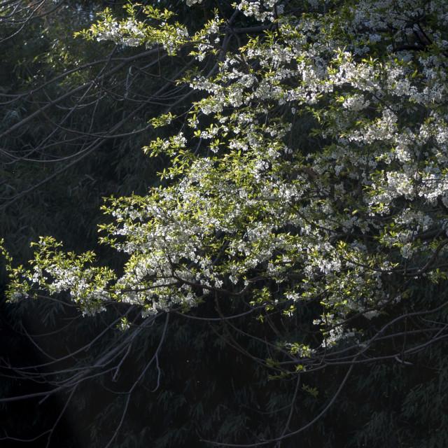 """Sun rays Illuminating the Apple Blossoms"" stock image"